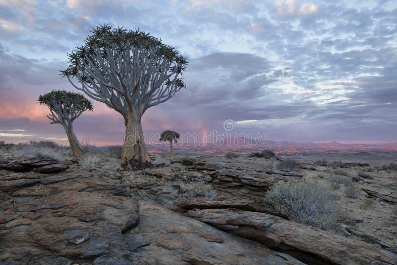 Quivertrees i Namibia royaltyfri fotografi