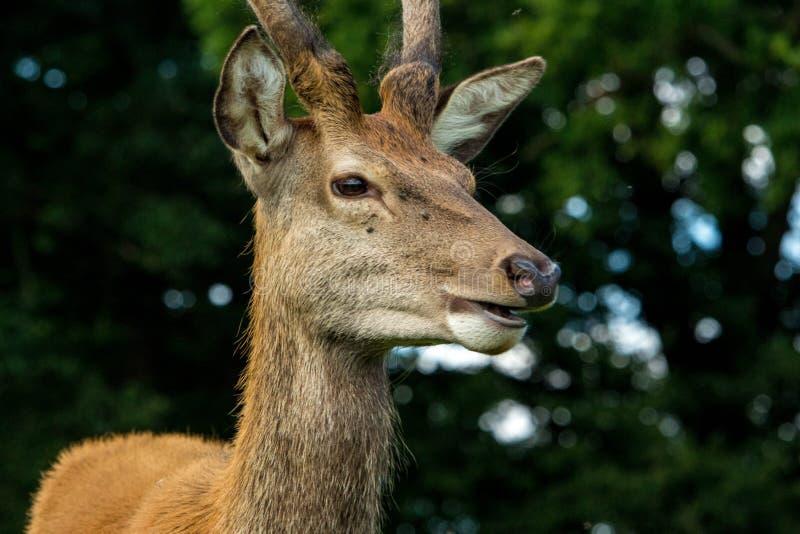 Quizzical олень стоковая фотография
