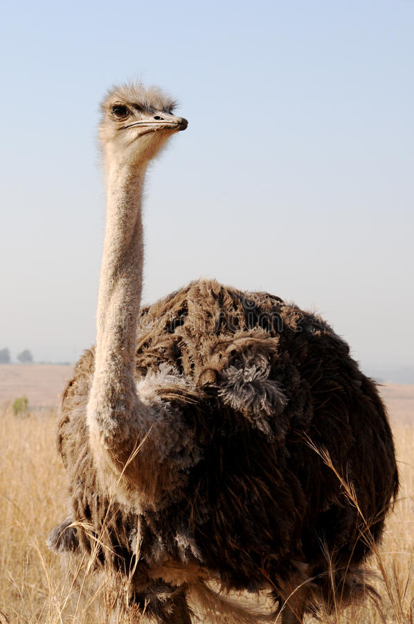 Quizzical Male Common Ostrich (Struthio camelus) royalty free stock photo