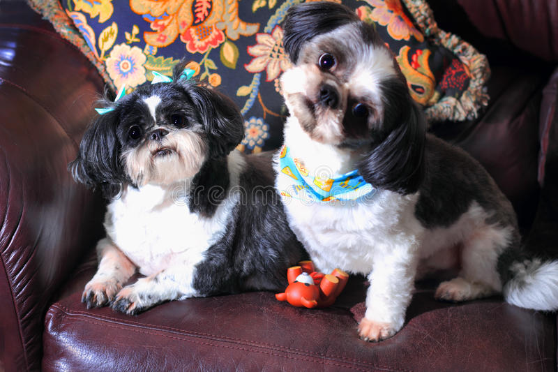 Quizzical Shih Tzus royalty free stock photos