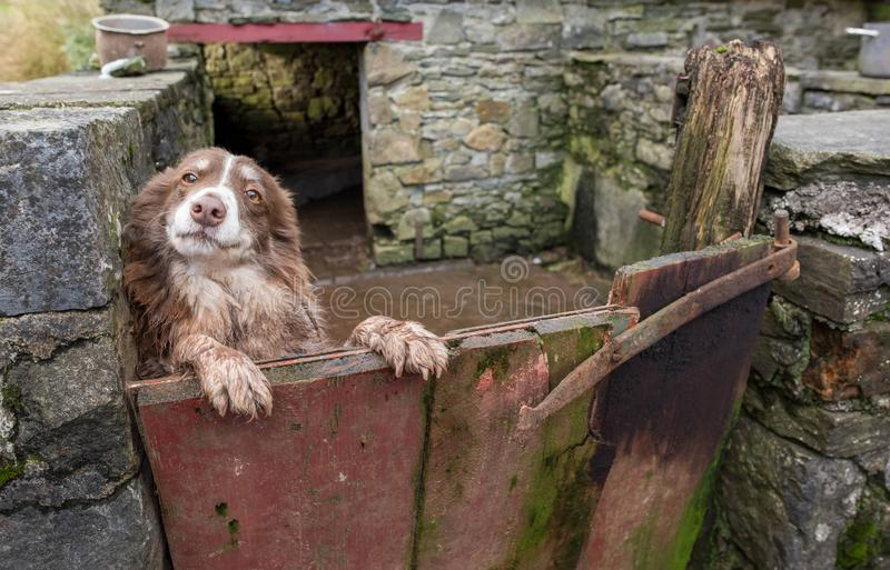 A quizzical Welsh sheepdog peering over a gate royalty free stock photo