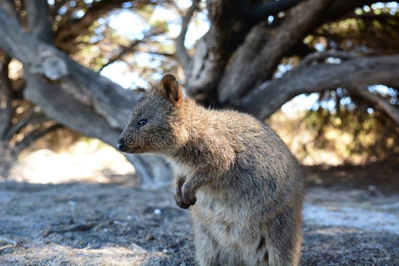 Quokka νησί το πιό rottnesτο Δυτική Αυστραλία Αυστραλοί στοκ φωτογραφία