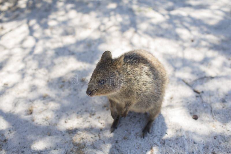 Quokka στο νησί Rottnest, δυτική Αυστραλία, Αυστραλία στοκ φωτογραφία με δικαίωμα ελεύθερης χρήσης