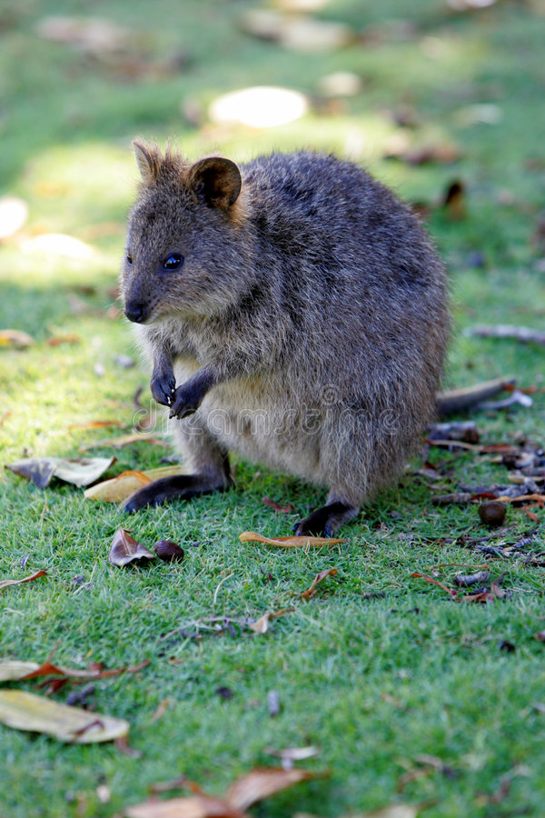 Quokka australiano fotos de archivo libres de regalías
