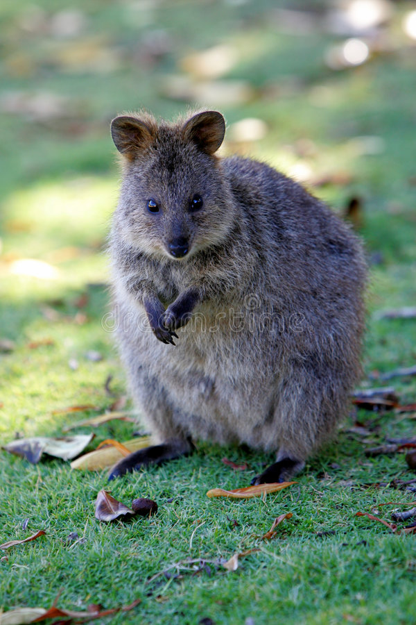 Quokka australiano immagini stock