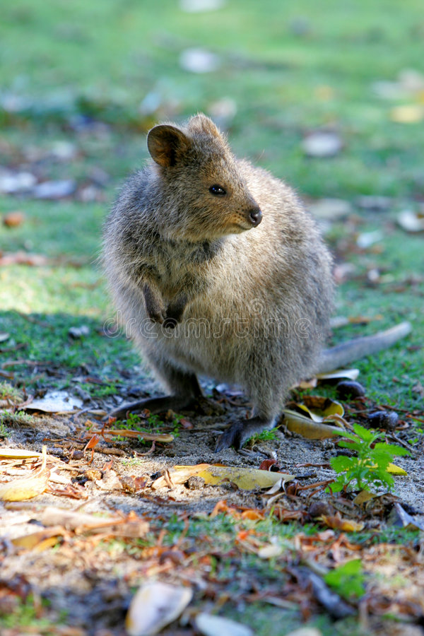 Quokka Australien Image stock