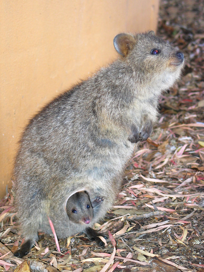 Download Quokka with Baby stock image. Image of small, australia - 87443