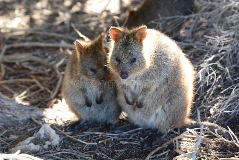 Quokka familj mest rottnest ö Västra Australien australasian royaltyfria foton