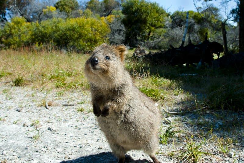 Quokka - isla de Rottnest - Australia imagen de archivo