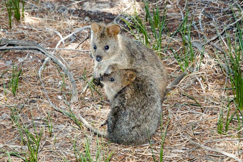 Quokka - Rottnest-Eiland - Australië stock foto