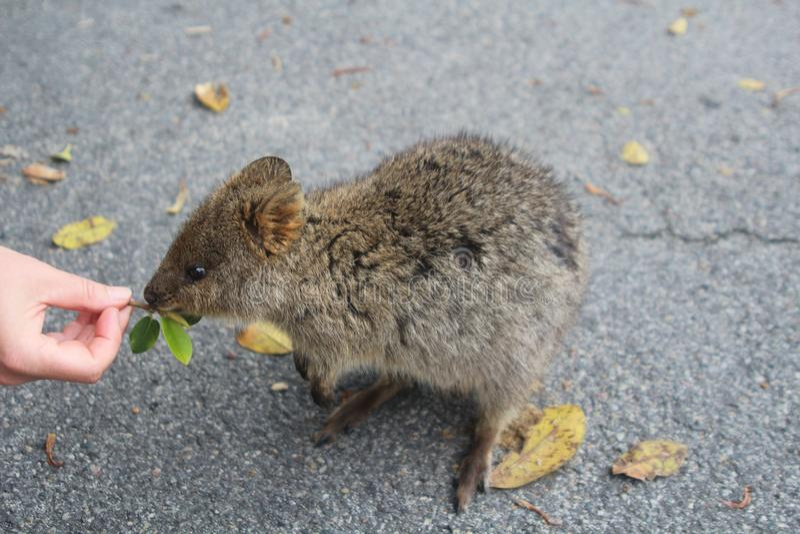 Quokka, un poco marsupial australiano le gusta ser alimentado con las hojas fotos de archivo libres de regalías