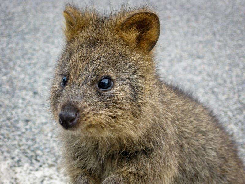 Quokkadier in het meest rottnest eiland van westelijk Australië stock afbeelding