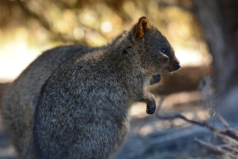 Quokkas in de wildernis Het Eiland van Rottnest Westelijk Australië australië stock afbeeldingen