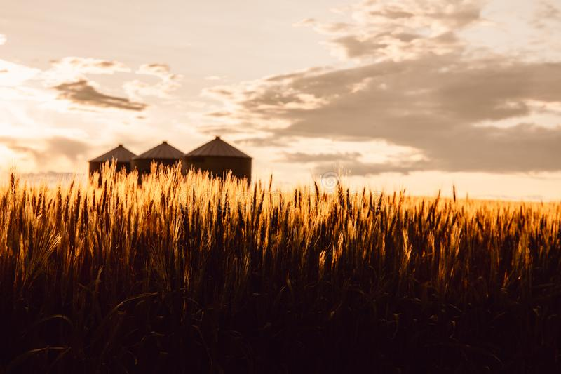 Quonset huts in a beautiful wheat field, at sunset, in central Alberta, Canada. Scenic view.  stock photos