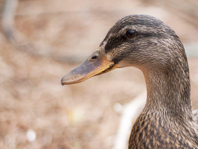 Quoth водоплавающая птица: Шарлатан стоковые фотографии rf