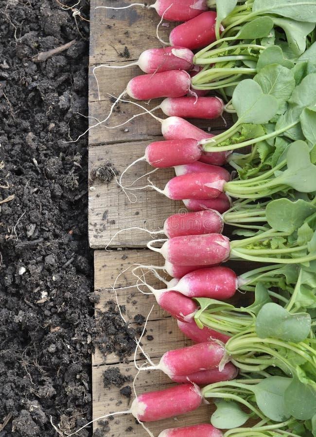 Rábano rosado orgánico en jardín fotografía de archivo libre de regalías