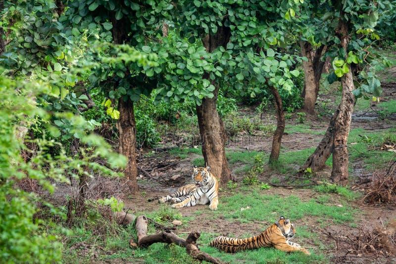 Rádio dois ou seguimento de tigres de bengal do colar ou de um par de acoplamento em árvores verdes bonitas e do fundo em Sariska fotos de stock