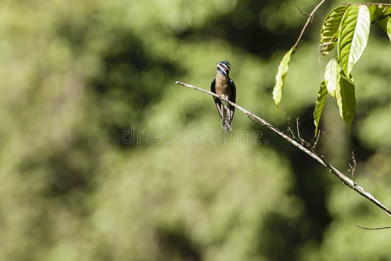 Rápido patilludo masculino con el remiendo anaranjado y las plumas azules iridiscentes que miran para arriba foto de archivo libre de regalías