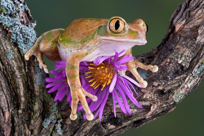 râ de árvore Grande-eyed com áster fotografia de stock