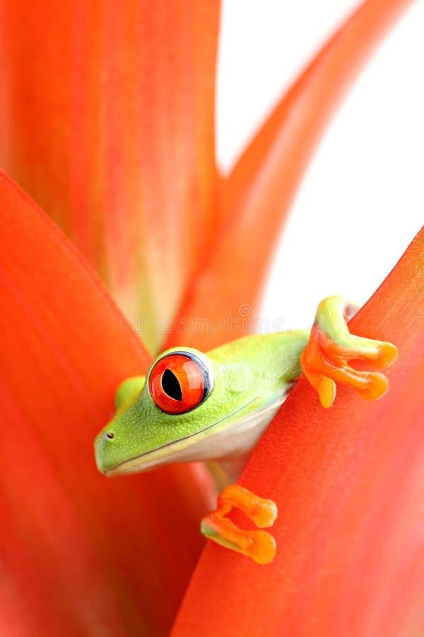 Râ de árvore Red-eyed fotografia de stock royalty free