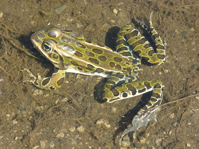 Download Râ de leopardo 1 imagem de stock. Imagem de outdoors, anfíbio - 102617