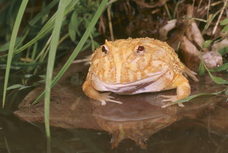 Râ do chifre do albino (cranwelli dos ceratophrys) foto de stock royalty free
