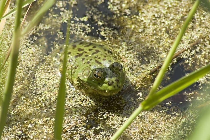 Râ verde na lagoa imagens de stock