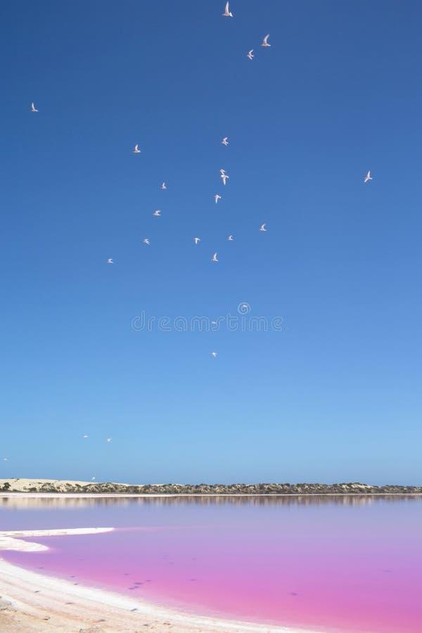 Różowa jeziorna budy laguna przy Portowym Gregory, zachodnia australia, Australia zdjęcie royalty free