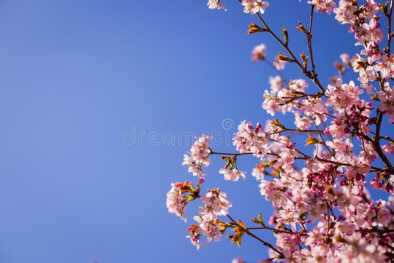 różowa okwitnięcie śliwka Gałąź okwitnięcie śliwki przeciw niebieskiemu niebu Tło z różowymi wiosen okwitnięciami Czereśniowego d zdjęcie royalty free
