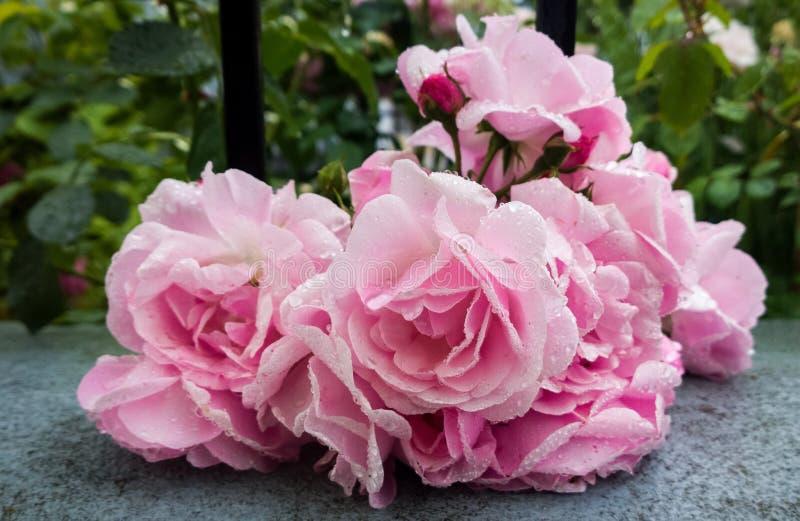 Różowe drzewne róże zakrywać raindrops Sistani zdjęcia stock