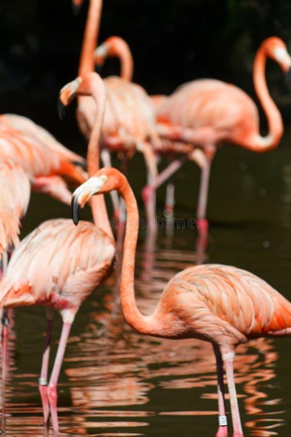 Różowi flamingi, Różowi odcienie zdjęcie royalty free
