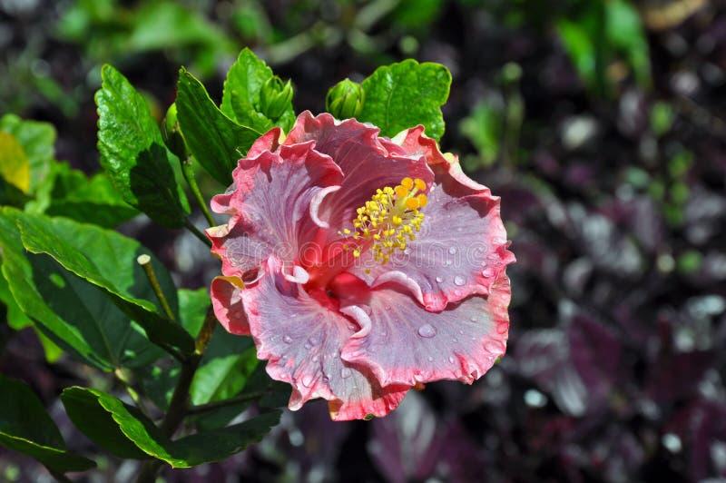 Różowy hawaiin poślubnik obraz stock