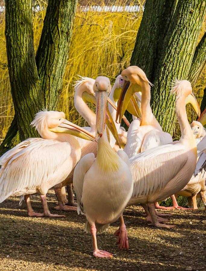 Różowy pelikana odprowadzenie w kierunku kamery, duża rodzina pelikany w tle, kierdel ptaki zdjęcie royalty free