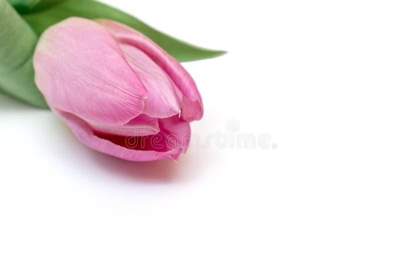 Różowy tulipan na białym tle, kwiecistej wiosny minimalistic projekt z kopii przestrzenią zdjęcie stock