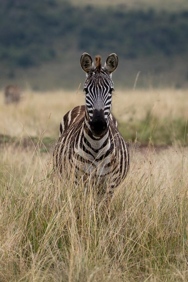 Równiny zebra w Masai Mara, Kenja, Afryka obraz royalty free