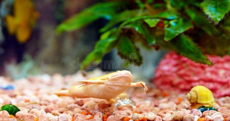 Rã agarrada no aquário colorido, laevis do Xenopus imagens de stock