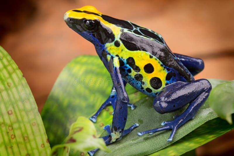 Rã azul amarela do dardo do veneno foto de stock royalty free