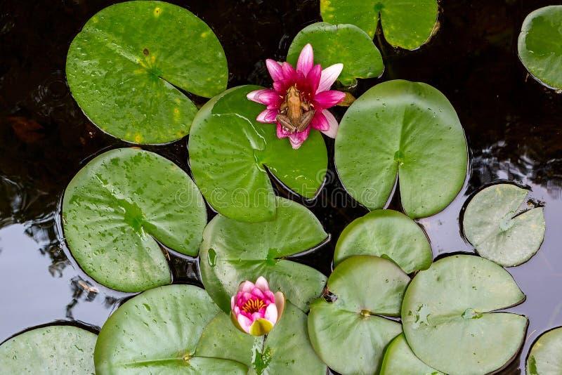 Rã de árvore pacífica na água Lily Flower Aerial View imagens de stock royalty free