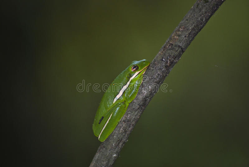 Rã de árvore verde americana foto de stock