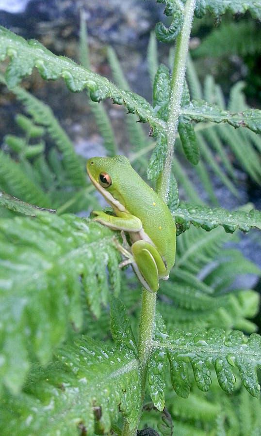 Rã de árvore verde empoleirada em Fern Stem fotografia de stock royalty free