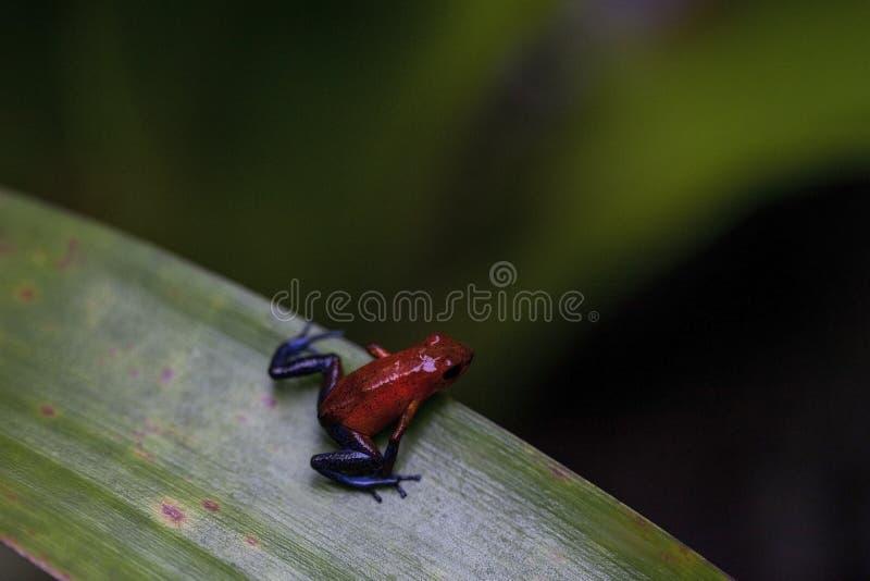 Rã de calças de ganga em uma floresta úmida de Costa Rica fotos de stock