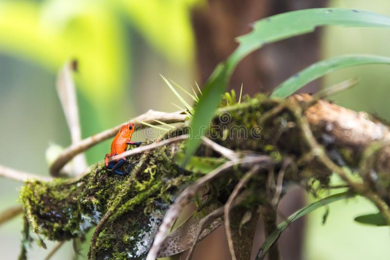 Rã do dardo da morango ou do veneno de calças de ganga na grama verde, fotografia de stock