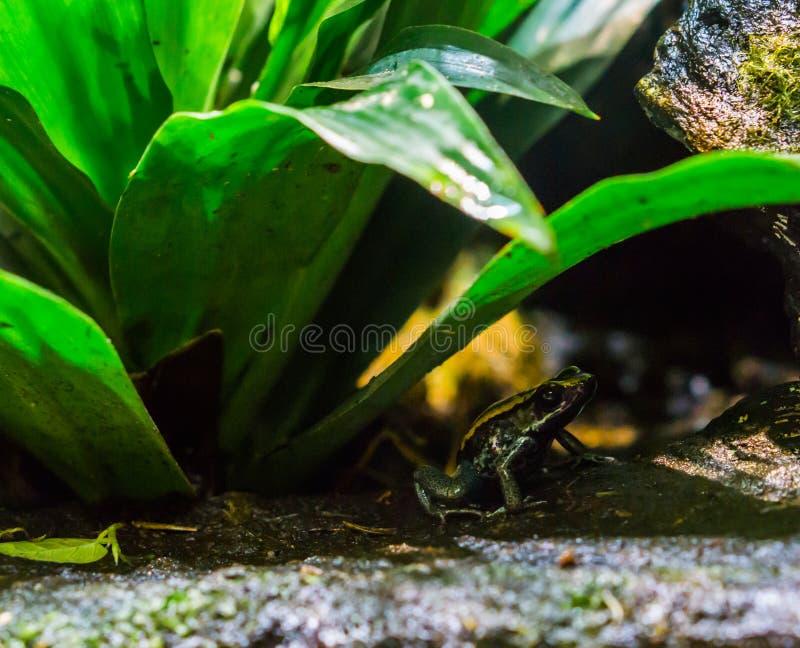 Rã do dardo do veneno de Golfodulcean no fim acima do assento sob uma planta, um specie animal perigoso e peçonhento de Costa Ric imagem de stock royalty free