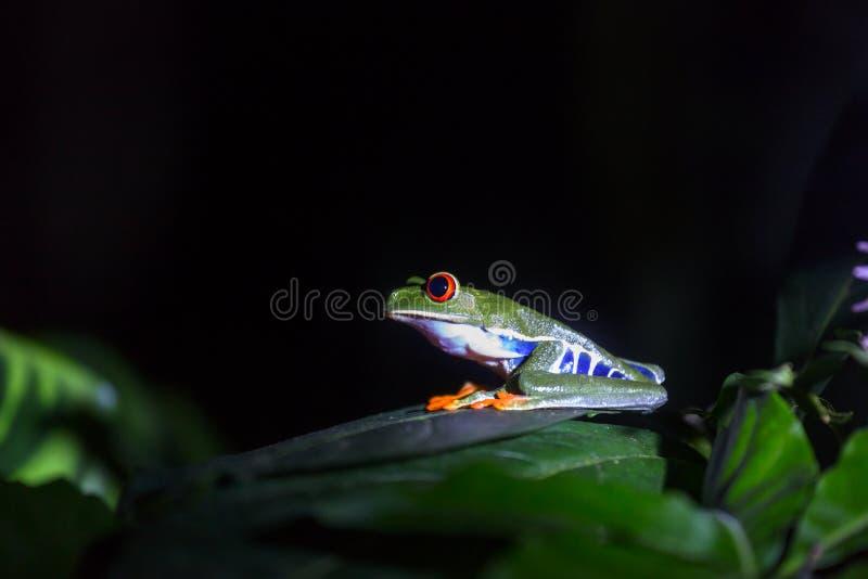 Rã em Costa Rica fotos de stock