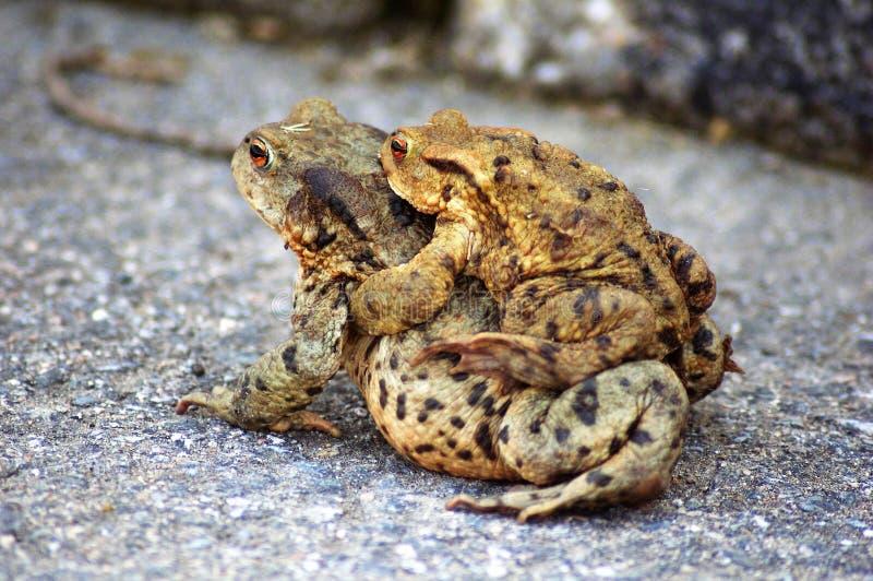 Rã fêmea e masculina do bufo de Bufo - em um momento da reprodução imagens de stock