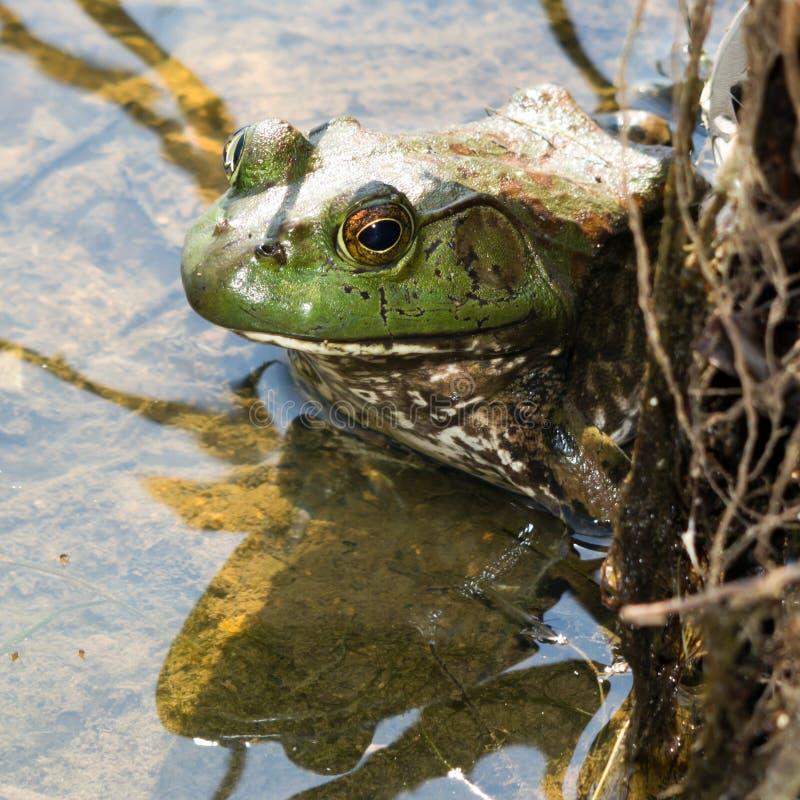 Download Rã-gigante imagem de stock. Imagem de verde, wildlife - 26510935