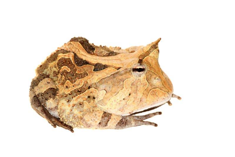 A rã horned surinamês isolada no branco imagens de stock royalty free