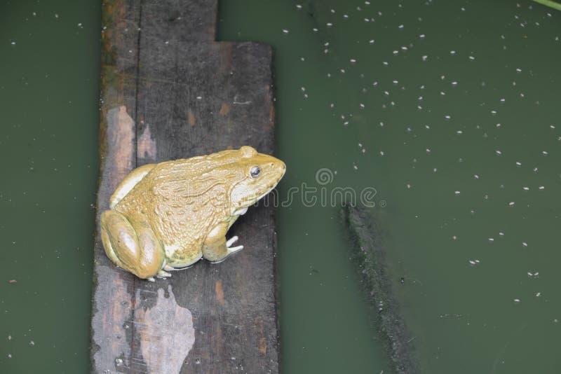 Rã na água na exploração agrícola fotografia de stock royalty free