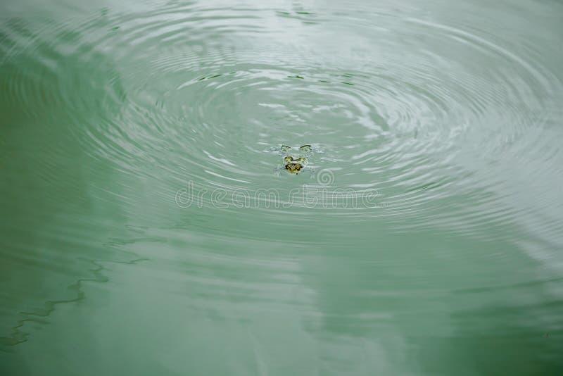 Rã na água - natação na água na superfície fotos de stock royalty free