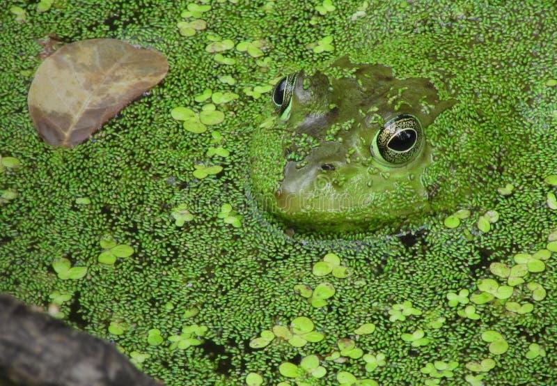 Rã na lagoa cercada pelo verde ao lado de uma folha de flutuação nave fotografia de stock royalty free